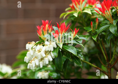 Pieris japonica forest flame with flowers and new foliage april the white flower racemes and red new growth shoots of young leaves of pieris japonica mightylinksfo Images