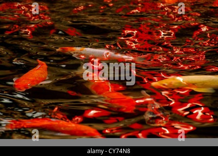 koi fishes swimming in the pond - Stock Photo