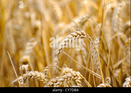 WHEAT GROWING IN A FIELD , SINGLE EAR OR STALK OF WHEAT - Stock Photo