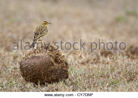 Grassveld Pipit / African Pipit (Anthus cinnamomeus) on elelephant dung on savanna, Addo Elephant National Park, - Stock Photo