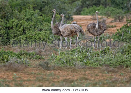 Flock of female common ostriches (Struthio camelus) in the Addo Elephant National Park, South Africa - Stock Photo