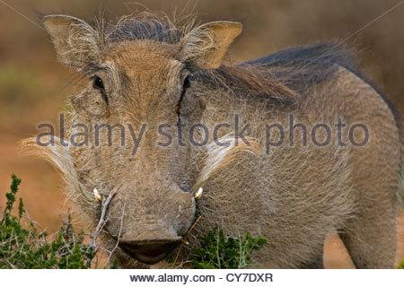 Common Warthog (Phacochoerus africanus) close-up, Addo Elephant National Park, South Africa - Stock Photo
