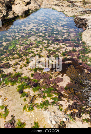 A rock pool with a variety of sea weeds and a purple jelly fish, UK - Stock Photo