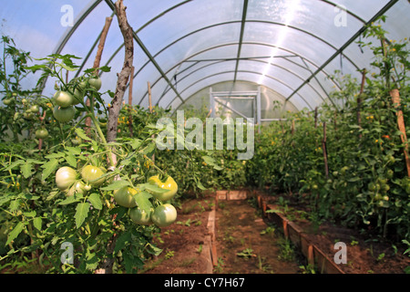 green tomatoes in plastic to hothouse - Stock Photo