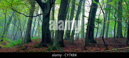 Mixed forest (beech, hornbeam and oak ) in a misty day, autumn, Saarland / Germany. Stitched - Stock Photo