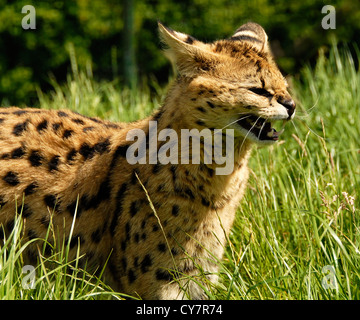 Serval cat - Stock Photo
