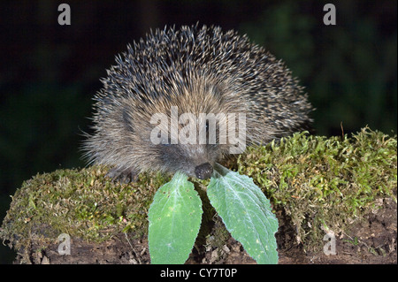 Western hedgehog (Erinaceus europaeus) - Stock Photo
