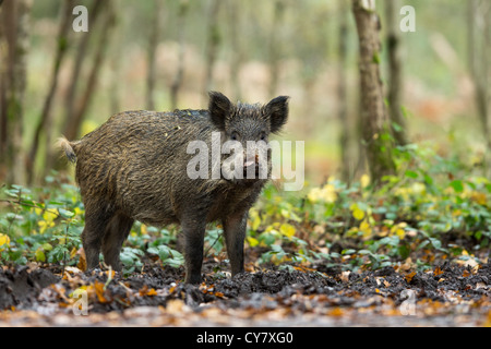 Portrait of a Wild Boar (Sus Scrofa) in autumn wood among the undergrowth in the Forest of Dean, Gloucestershire, - Stock Photo