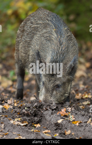 Wild Boar (Sus Scrofa) rooting for food in an autumn wood in the Forest of Dean, Gloucestershire, UK - Stock Photo