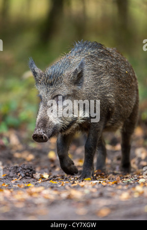 Wild Boar (Sus Scrofa) roaming free walking through an autumn wood in the Forest of Dean, Gloucestershire, UK - Stock Photo