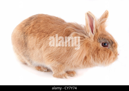 Brown lionhead bunny isolated on white - Stock Photo