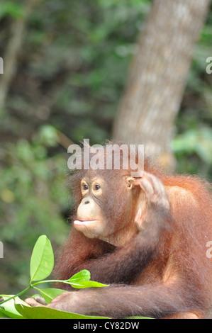 Young Orangutan Orang utan Pongo pygmaeus at Sepilok Rehabilitation Centre Borneo Malaysia - Stock Photo