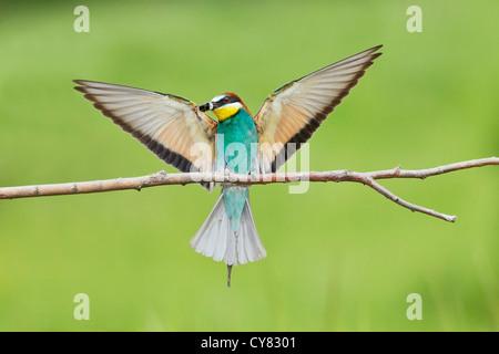 European bee eater (Merops apiaster) landing on perch with ground bee in its beak, Bulgaria, Europe - Stock Photo