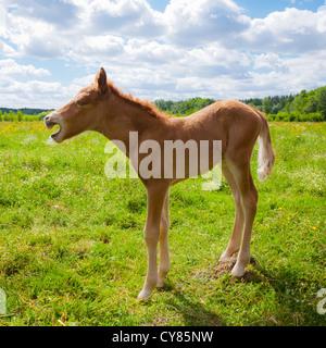 Dayold chestnut Icelandic horse foal yawning - Stock Photo