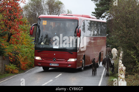 A coach drives carefully past wild donkeys on a road in the New Forest.  Picture by James Boardman. - Stock Photo