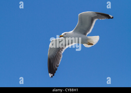 Adult Lesser Black-backed Gull (Larus fuscus) in flight, Isles of Scilly - Stock Photo