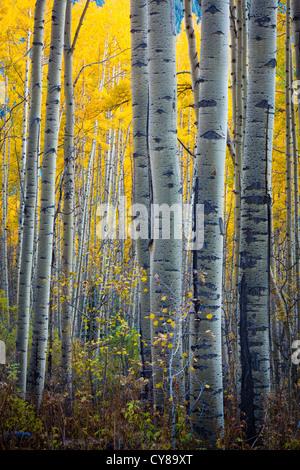 Aspens grove in the San Juan mountains of Colorado - Stock Photo
