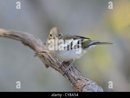 Female Common chaffinch, Fringilla coelebs, Spain. - Stock Photo