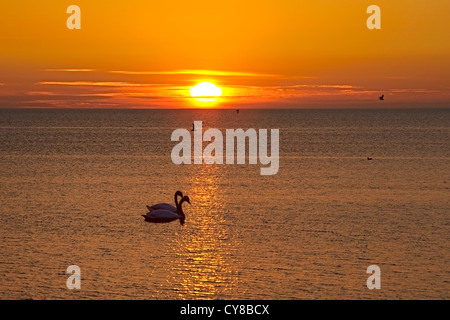 A couple of swans over the sunset at sea - Stock Photo