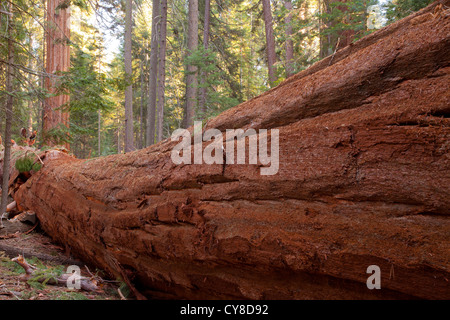recently fallen Giant Sequoia, Sequoiadendron giganteum, in Long Meadow Grove - Stock Photo