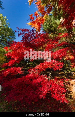 Maple leaves displaying bright red, orange and yellow colors in autumn - Stock Photo