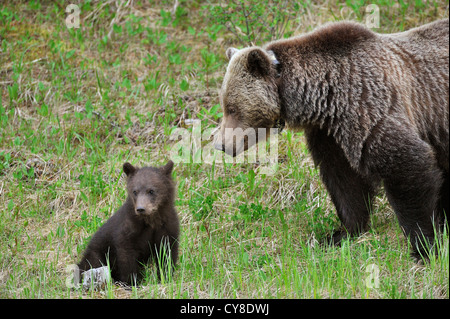 A mother grizzly bear looking at her tiny cub sitting in the spring grass. - Stock Photo