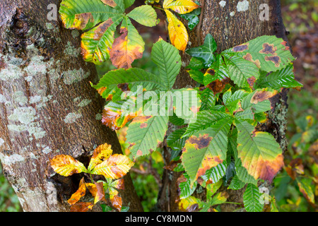 Horse Chestnut; Aesculus hippocastanum; leaves in autumn; Hampshire; UK - Stock Photo