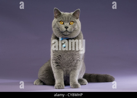 British Short Haired Grey Cat on a Purple Background wearing a Blue Collar - Stock Photo