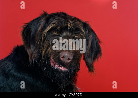 German Wired Hair Pointer isolated on a red background - Stock Photo