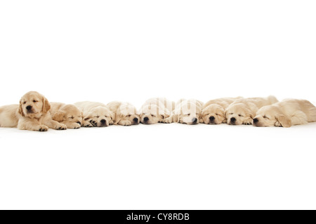 Golden retriever puppies sleeping isolated on a white background - Stock Photo