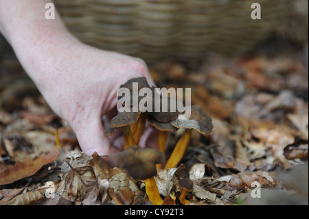 Foraged mushrooms and other wild forest produce - Stock Photo