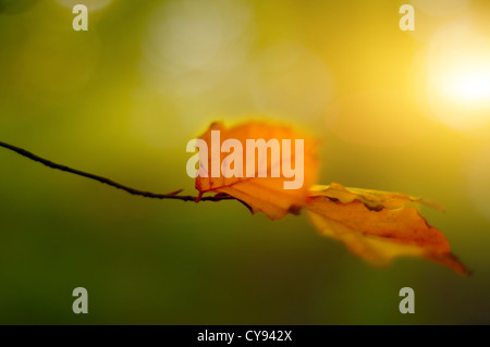 Autumn Leaf with sun in the background - Stock Photo