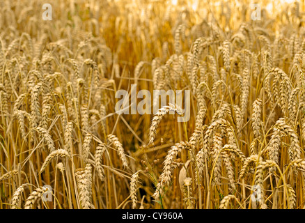 A FIELD OF WHEAT GROWING - Stock Photo