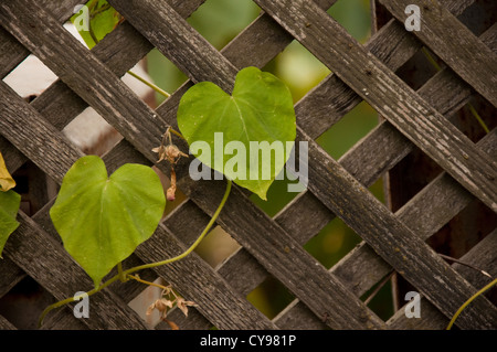 Old wooden fence with climber plant in home garden. - Stock Photo