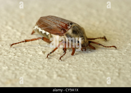 Cockchafer or May Bug, Melolontha melolontha
