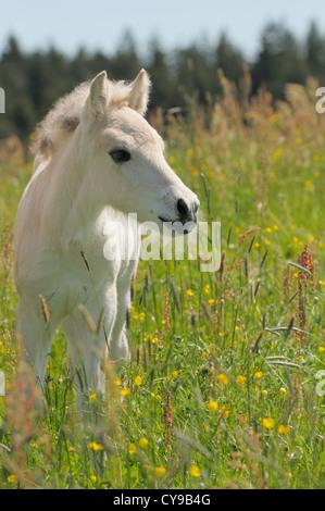 Norwegian Fjord horse foal - Stock Photo