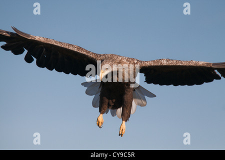 White-tail Eagle (Haliaeetus albicilla). Estonia. Stock Photo