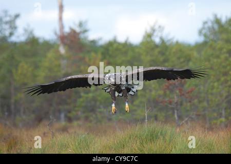 White-tail Eagle (Haliaeetus albicilla). Ringed. Estonia. - Stock Photo