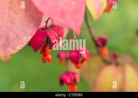 Dingle dangle tree (Euonymus planipes) - Stock Photo