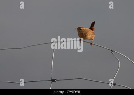 Wren Troglodytes troglodytes on a wire fence in Shetland. - Stock Photo