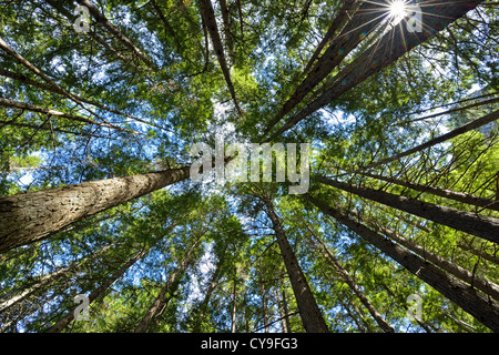 Looking up at the canopy through the tall trees with green leaves and blue sky. - Stock Photo