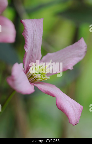 Clematis montana rubens. Deep pink single flower with yellow stamen on the summer flowering climbing plant with - Stock Photo