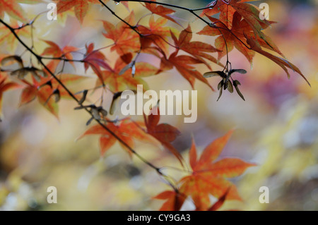 Acer cultivar, Japanese maple. Autumnal coloured leaves on the branches of the tree with the leaf veins visible. - Stock Photo