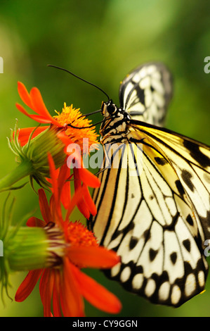Idea leuconoe, Paper Kite or Large tree nymph butterfly on an orange coloured flower seen from the side. - Stock Photo