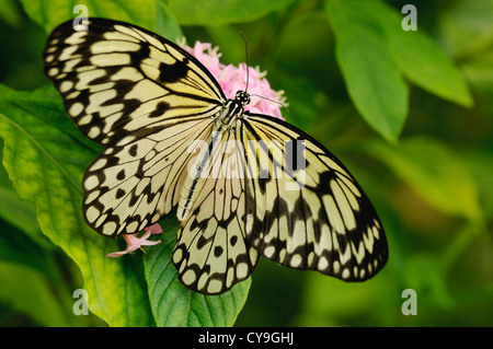 Idea leuconoe, Paper Kite or Large tree nymph butterfly seen from above with its wings open on a pink flower of - Stock Photo