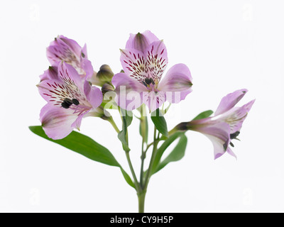 Alstroemeria flowers on a white background stock photo royalty free alstroemeria cultivar peruvian lily purple flowers on a single stem against a white background mightylinksfo Gallery