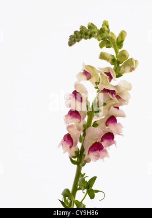 Antirrhinum majus, Snapdragon. Single stem with abundant pink and white flowers against a white background. - Stock Photo