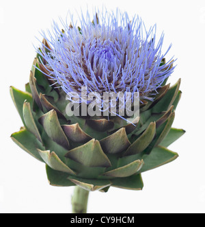 Cynara scolymus, Globe artichoke. Blue flower above the lobed green leaves of this perennial edible thistle. - Stock Photo