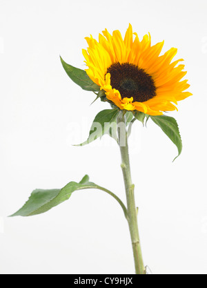 Single flowering sunflower, Helianthus annuus 'Sunrich Orange', against a white background - Stock Photo