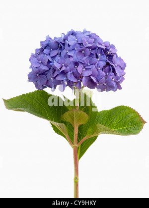 Single blue Lacecap hydrangea, Hydrangea macrophylla 'Diamond Blue', on a leafy stem against a white background - Stock Photo